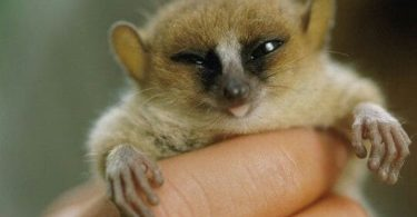 Lémur Ratón de Madame Berthe – el primate más pequeño del mundo en peligro critico de extinción