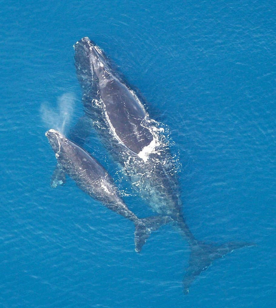 La ballena franca del Atlántico Norte - especie en peligro critico de extinción
